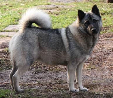 Norwegian Elkhound Rescue Getting Ready For A Home